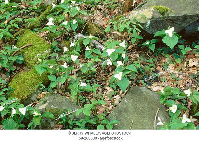 Large-flowered trillium (Trillium grandiflorum). Great Smoky Mountains National Park. Tennessee. USA