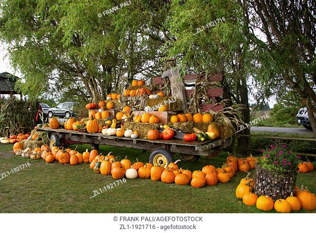 October famlies coming to pick pumpkins at the pumpkin patch at Westham Island, Ladner, British Columbia, Canada