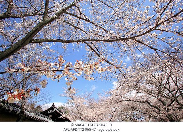 Daigoji and Sakura, Kyoto, Japan
