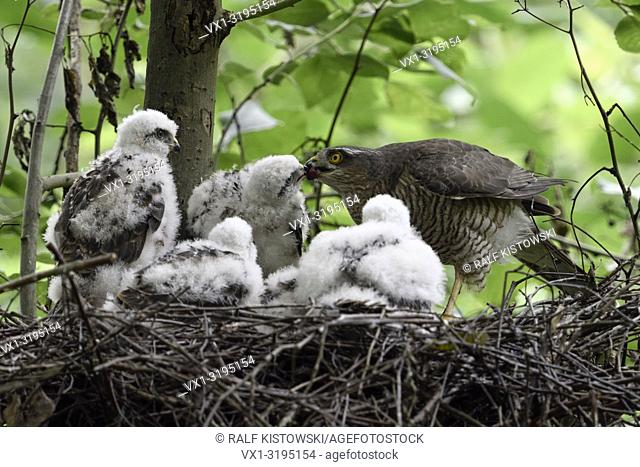 Sparrowhawk (Accipiter nisus), caring female feeding its grown up chicks, wildlife, Europe