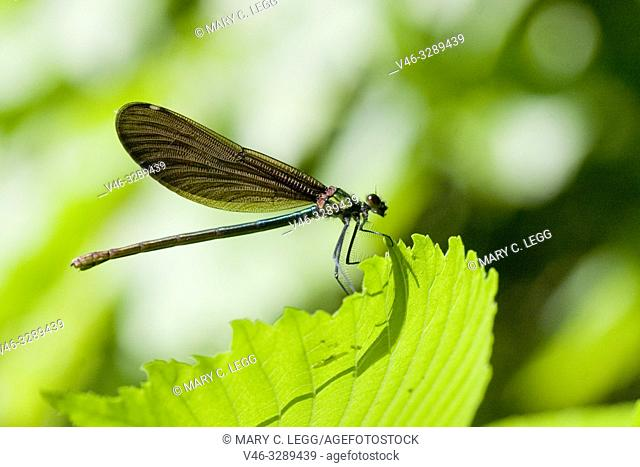 Female Beautiful Demoiselle, Calopteryx virgo. Adults: 49-54mm length. males are metallic blue and females emerald green