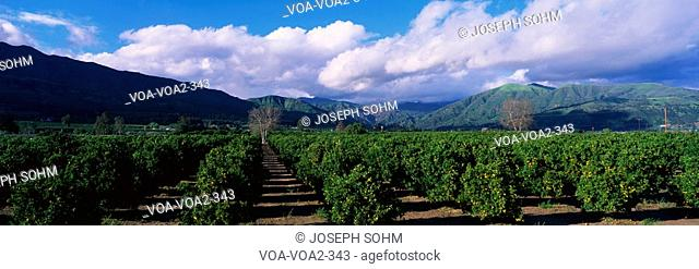 These are orange groves near Fillmore. The trees are in neat rows underneath the nearby mountains. There are large white clouds and a blue sky