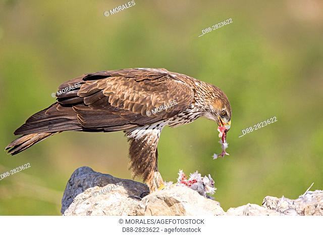 Spain, Catalonia, Pre-Pyrenees, Montsonis, Bonelli's eagle or Eurasian hawk-eagle, Hieraetus fasciatus or Aquila fasciata, picture taken from hide