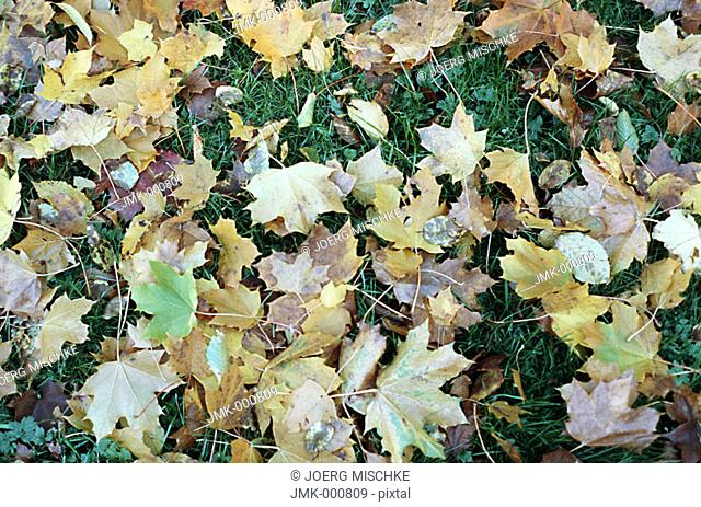 Coloured leaves in autumn, lying on the lawn, meadow