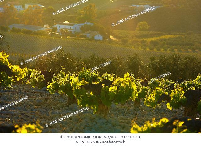 Montilla, Vineyards, Montilla- Moriles area, Cordoba province, Andalusia, Spain
