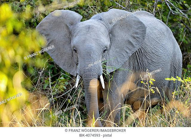 African Elephant (Loxodonta africana) feeding in the bushes, South Luangwa National Park, Zambia