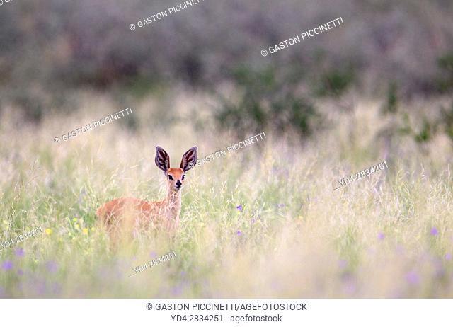 Steenbok (Raphicerus campestris), Kgalagadi Transfrontier Park, Kalahari desert, South Africa/Botswana