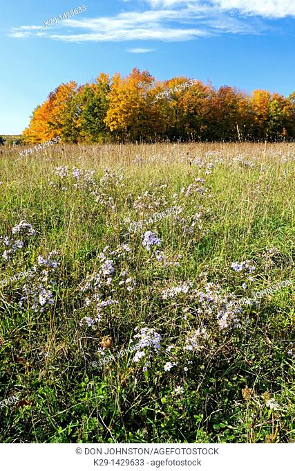 Blooming asters in a pasture with a distant hardwood woodlot Manitoulin Island Ontario