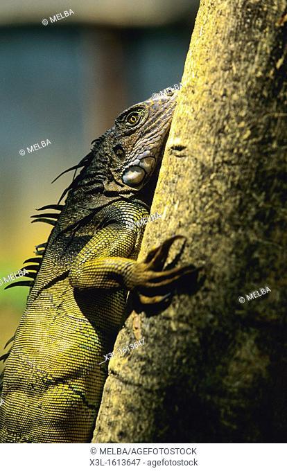 Male iguana, Iguana iguana  Chagres National Park  Panama