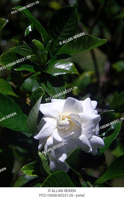 Beautiful white gardenia among green leaves