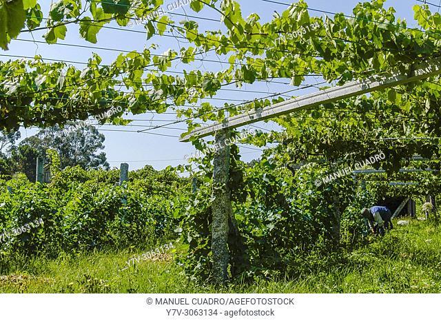 Albariño vineyards in Sanxenxo area, Pontevedra Province, Galicia, Spain