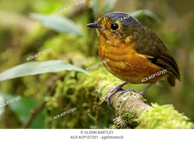 Slate-crowned Antpitta (Grallaricula nana) perched on a branch in the mountains of Colombia, South America