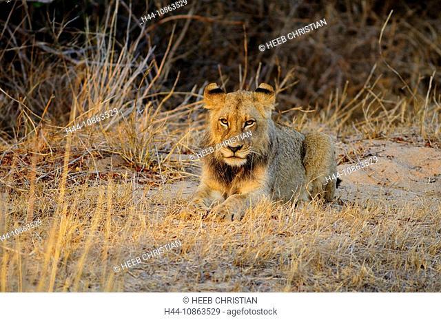 Young, male, Lion, Leo Panthera, Ulusaba Sir Richard Branson's Private Game Reserve, Sabi Sands Game Reserve, Mpumalanga, South Africa, lying, grass, animal