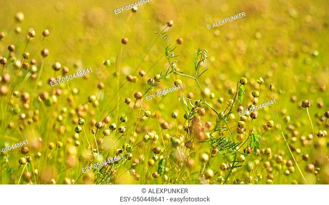 Maturing flax in a large field, almost ready to harvest. Flax field in Summer. Field of golden flax seeds