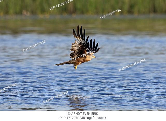 Red kite (Milvus milvus) flying over lake / river while hunting for fish