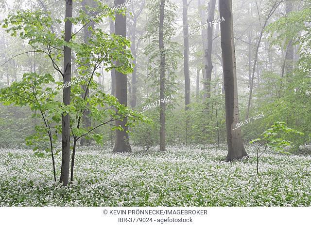Flowering wild garlic (Allium ursinum) in spring forest in fog, Leipzig, Saxony, Germany