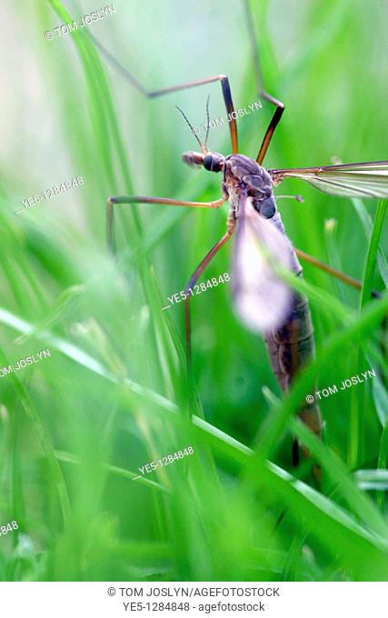 Crane fly or Daddy long legs Tipula paludosa in grass, England, UK