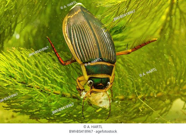 Great diving beetle (Dytiscus marginalis), female feeds