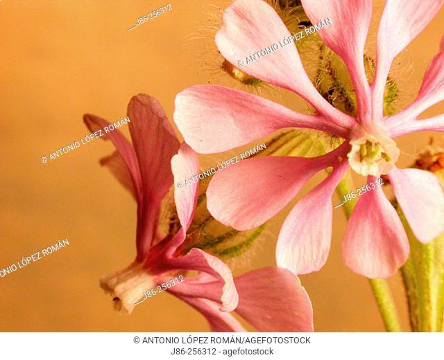 Pink Pirouette (Silene colorata)