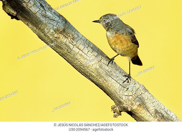 Common redstart juvenile Phoenicurus phoenicurus perched on branch in Las Batuecas-Sierra de Francia Natural Park. Biosphere Reserve of Sierra de Béjar and...