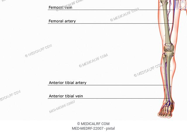 Femoral vein Stock Photos and Images   age fotostock