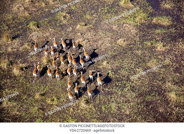 Aerial view of Red Lechwes (Kobus leche), in the floodplain. Okavango Delta, Botswana. The Okavango Delta is home to a rich array of wildlife