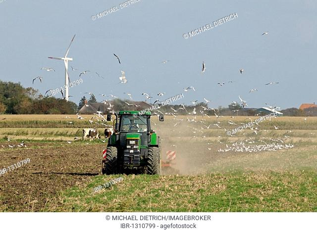 Farmer plowing a field which has attracted a flock of seagull, Pellworm, North Friesland District, Schleswig-Holstein, Germany, Europe