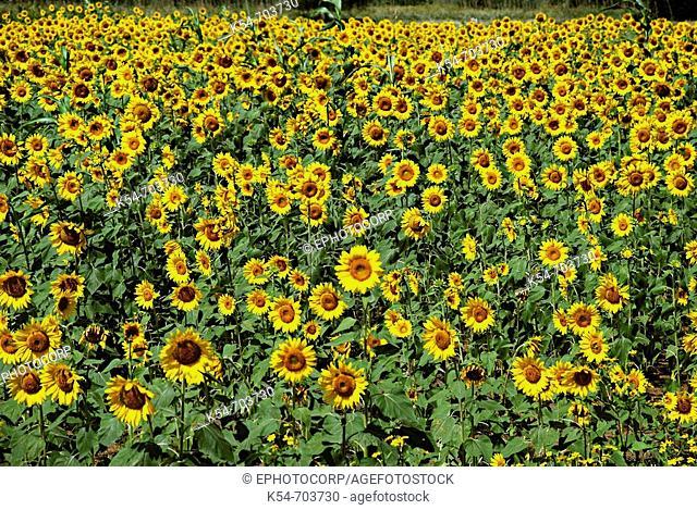 Sunflower fields, Karnataka, India