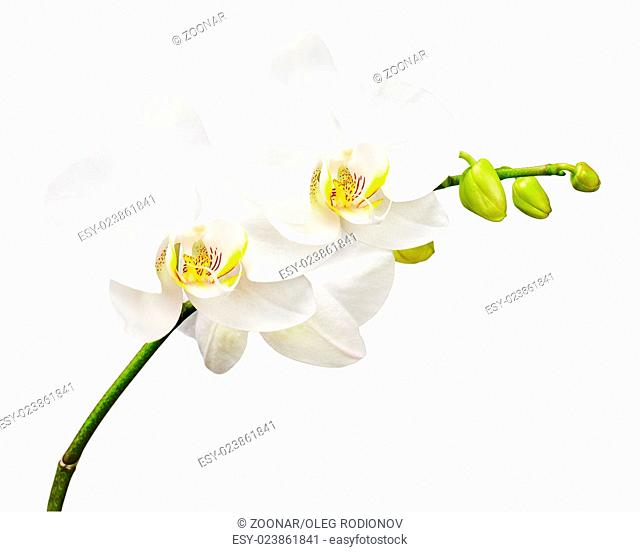 Three day old orchid isolated on white background