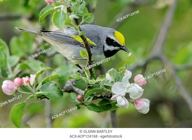 Golden-winged Warbler (Vermivora chrysoptera) perched on a branch in Southeastern Ontario, Canada