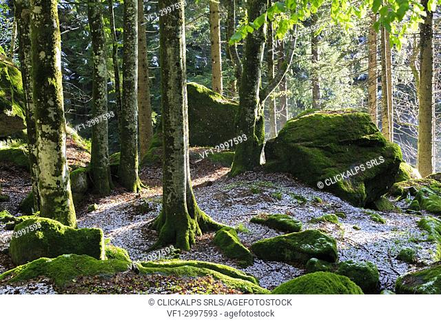 The sun filters in the forest trees. Bagni di Masino, Valmasino, Lombardy, Italy