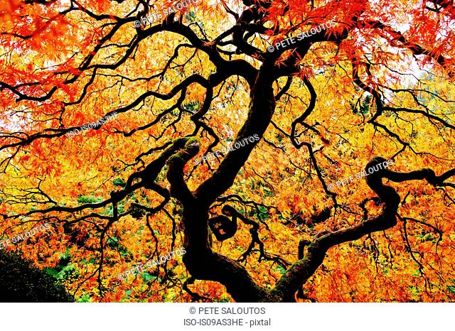 Low angle view of Japanese maple with red and orange autumn leaves