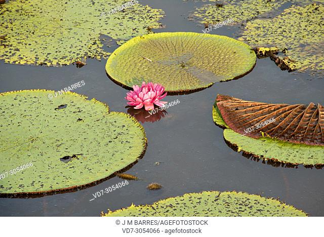 Victoria water lily (Victoria amazonica or Victoria regia) ia an aquatic plant native to shallow waters of Amazon River. This photo was taken in January Lake