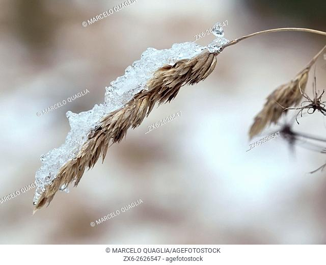 Winter grass sprig covered by ice. Montseny Natural Park. Barcelona province, Catalonia, Spain