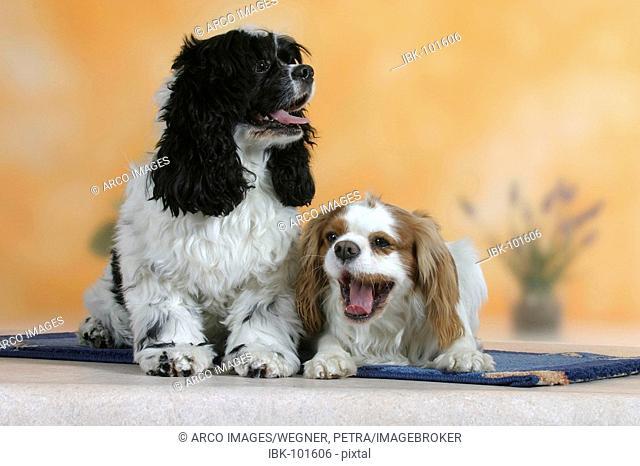 American Cocker Spaniel and Cavalier King Charles Spaniel, Blenheim