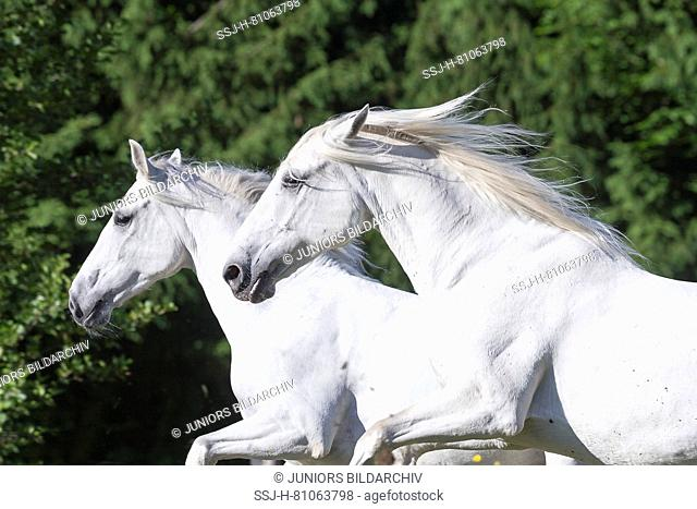 Lipizzan horse. Two adult mares galloping on a pasture, portrait. Austria