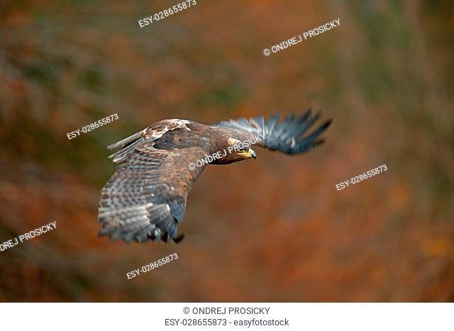 Flying dark brawn bird of prey Steppe Eagle, Aquila nipalensis