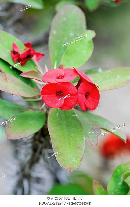 Christ Plant Euphorbia milii Euphorbia splendens Crown-of-Thorns