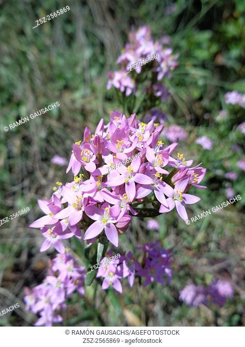 Common centaury (Centaurium erythrae). Catalonia, Spain
