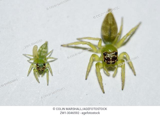 Female Jumping Spiders (Araneae order, Salticidae family, Artabrus erythrocephalus), smaller one with egg from Parasitic Wasp, Klungkung, Bali, Indonesia