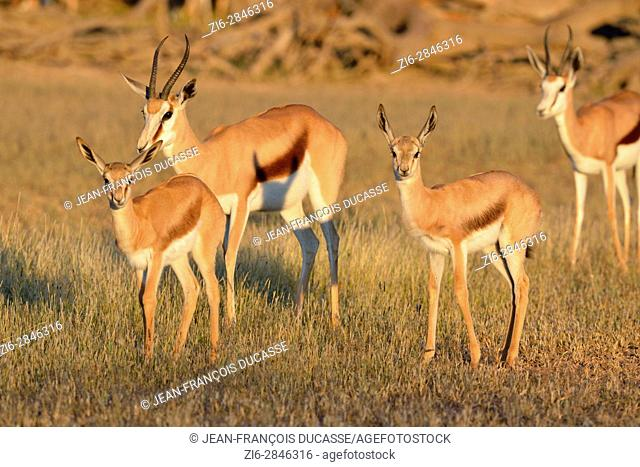 Springboks (Antidorcas marsupialis), two adult females with two young, early morning, Kgalagadi Transfrontier Park, Northern Cape, South Africa, Africa