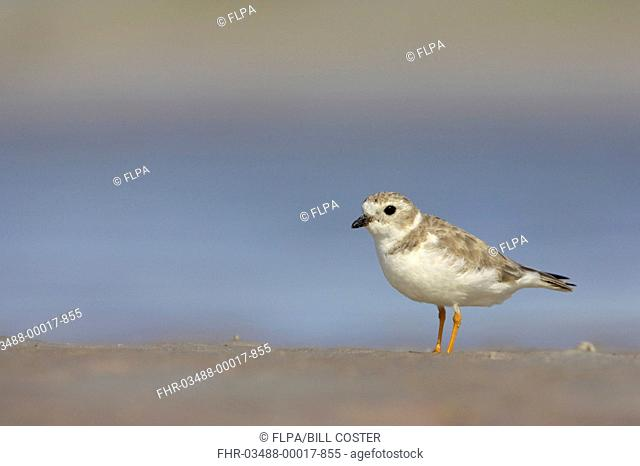 Piping Plover Charadrius melodus adult, winter plumage, standing on shore, Fort de Soto, Florida, U S A