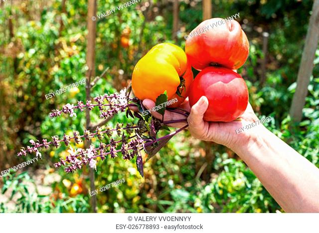 farmer hand holds new harvest from ripe tomatoes and basil herb with vegetable garden on background