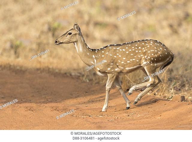 Asia, India, Maharashtra, Tadoba Andhari Tiger Reserve, Tadoba national park, Chital or Cheetal or Chital deer, Spotted deer or Axis deer( Axis axis)