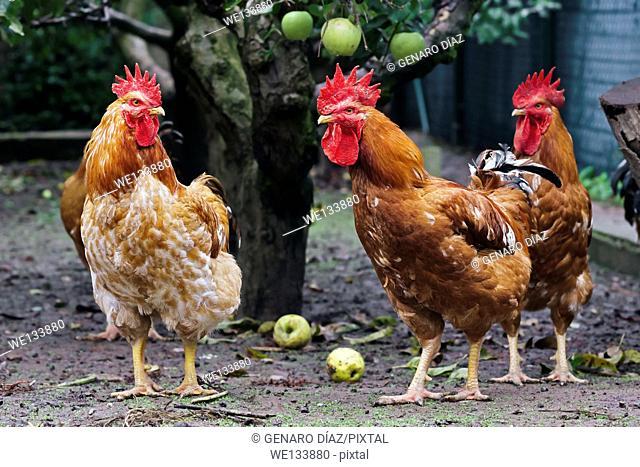 barnyard roosters between apple trees