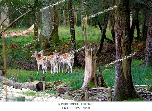 France, Burgundy, Yonne. Area of Saint Fargeau and Boutissaint. Slab season. Fawns at the edge of the forest