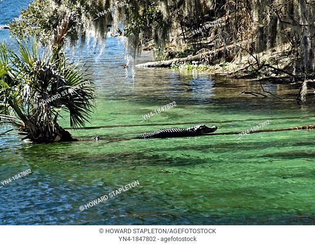 American alligator Alligator mississippiensis Alligators live primarily in or near fresh water streams, rivers, lakes swamps and marshes  This animal was...