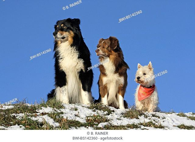 domestic dog (Canis lupus f. familiaris), Australian Shepherd, Miniature Australian Shepherd and West Highland White Terrier (Westie) sitting side by side