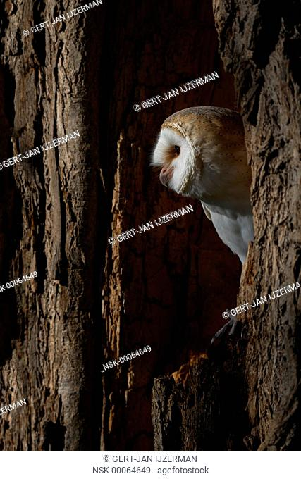 Barn Owl (Tyto alba) adult perched in a hollow tree, The Netherlands, Overijssel, Kamperveen