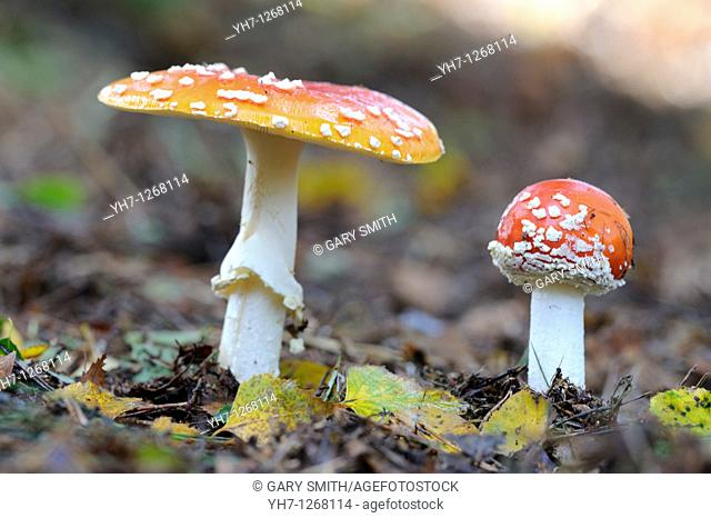 Fungi, fly agaric, amanita muscaria, two fruiting bodies in birch woodland, Norfolk, UK, September